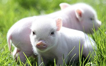 свинья 5