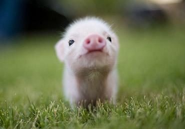 свинья 6
