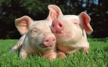 свинья 7